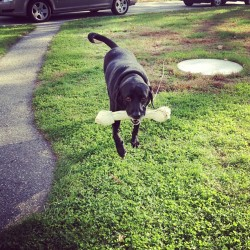 # dog #dogs #pets #blacklab #lab #bone