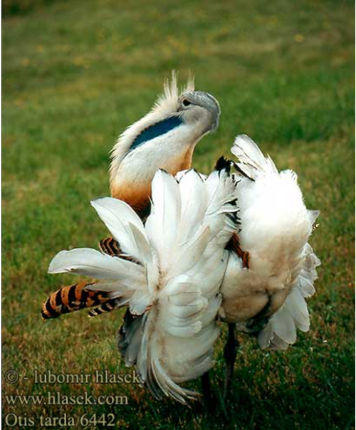 alainrichert:  Dancing great bustard