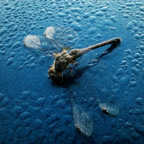This dragonfly was sitting on my mom's car, dead in the dew of the morning.