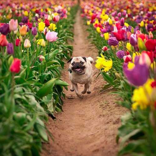 fortheloveofpug:  Beautiful