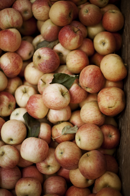 Apples galore (by Pink Scarf)
