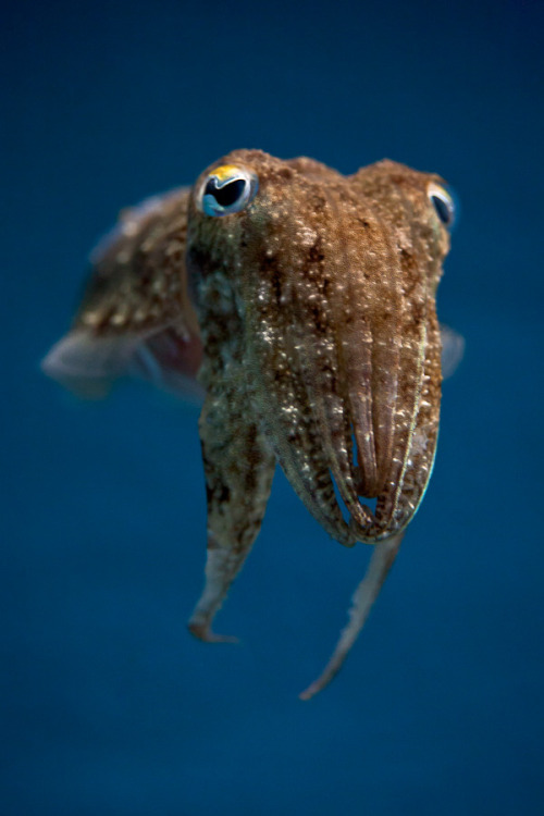 rhamphotheca:  willigula: Common Cuttlefish (Sepia officinalis)   (photo by Stavros Markopoulos, 2011)