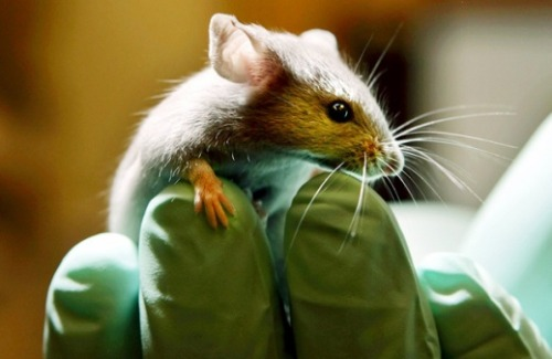"Mice Genetically Engineered to be Super-Sensitive to the Smell of TNT, Will Be Used to Clear Landmines  A Belgian organization called APOPO already uses giant African pouched rats as a cheaper way to sniff out landmines. The rats are not genetically modified, but their sense of smell is sharp enough to detect TNT. …While the furry minesweepers are effective (with two handlers, they can cover a field in one hour that would take two full days for metal detectors), they need nine months of training to become reliable, a process that costs around 6,000 euros per rat. The genetically engineered mice, however, are so sensitive to TNT that encountering the molecule is likely to change their behavior involuntarily, so they would need little to no training. [Molecular Neurobiologist} Charlotte D'Hulst… used genetic modification to ensure that the mice have 10,000 to 1,000,000 odor-sensing neurons with a TNT-detecting receptor compared with only 4,000 in a normal animal, ""possibly amplifying the detection limit for this odor 500-fold,"" she says. Each odor-sensing neuron in a mouse's nose is spotted with one kind of odor receptor. Usually, each specific receptor is found in one out of every thousand odor-sensing neurons, but about half the scent-detecting neurons in D'Hulst's mice have the TNT-detecting receptor.  (via Genetically Modified Mice Could Be Tiny Landmine-Sniffing Heroes 