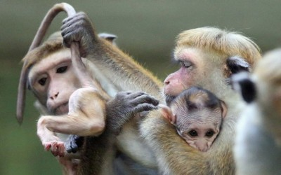 A female toque macaque, which is a kind of monkey from Sri Lanka, holds her male baby at Zoo Berlin in Berlin, Germany. The baby monkey was born on August 23.  Picture: Sean Gallup/Getty Images