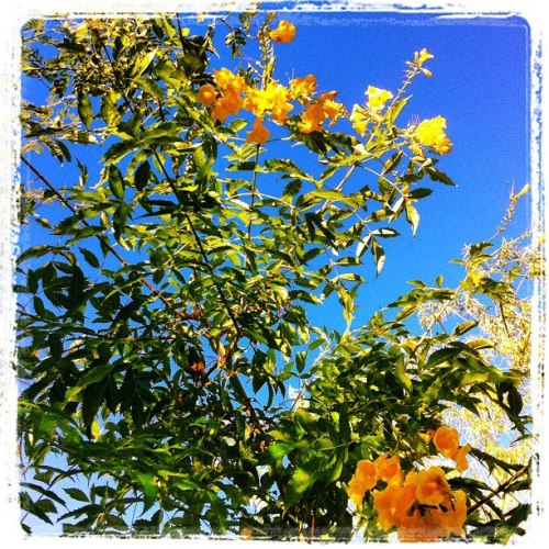Blue sky, yellow flowers.