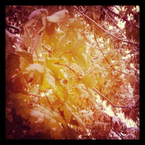 #tree #snow #leaves #feelslikechristmas (at Westminster, Colorado)