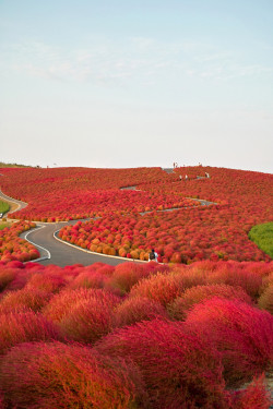 Kochia Hill, Hitachinaka City, Japan - Imgur
