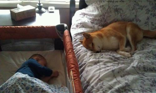 Kenji and his brother take a nap. (This Shiba Inu is so good with kids!)