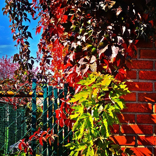 Multicolored Fence Leaves #autumn #colorporn #fall #leaves #plants  (at 7 - Eleven)
