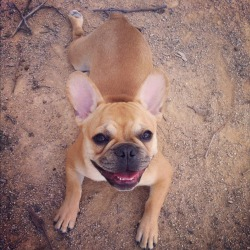 dailyfrenchie:  My name is Pedro (but I don't speak Spanish) and I'm 6 months. I'm very sweety and I know it ;) by Saunier