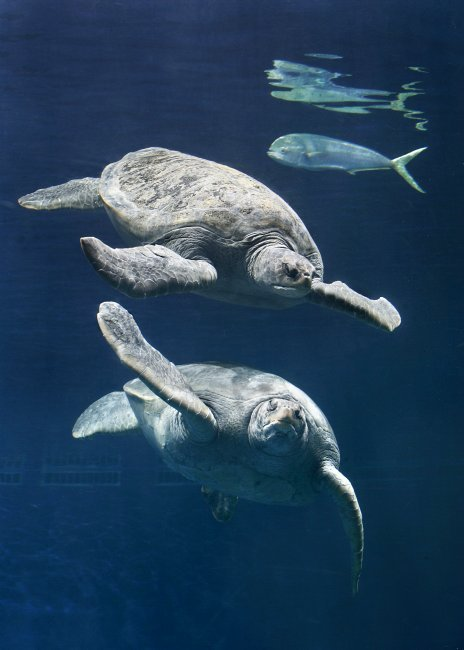 montereybayaquarium:  Did you know that our giant green sea turtles need sun therapy? We just temporarily moved one from the Open Sea exhibit to our rooftop holding area, so the sun's ultraviolet rays can ensure production of vitamin D. Learn more about the green sea turtle.  If I could be a sea turtle my life would be complete.