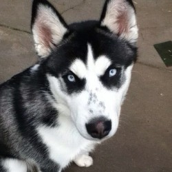 @husky____love #ig #huskies #eyes