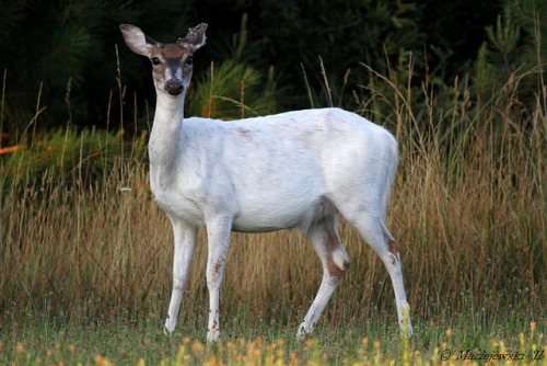 Piebald White Tailed Deer by Steve Maciejewski on Flickr.