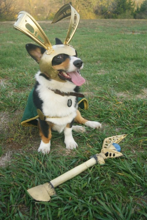 corgiaddict:  For Halloween Murray is going as Loki, the villain from the movie The Avengers. My very creative boyfriend crafted his whole costume, including a staff that lights up and is made of a dog bone.