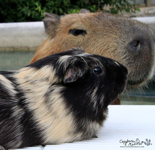 Two noses. You can vote on Garibaldi Rous' new guinea pig co-pet's name. Read my blog post Name That Piig! Voting closes tomorrow so hop on over right now to vote!