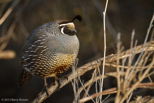 California Quail by Wildphotography - Barry Rowan on Flickr.