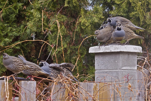 …we have a 5 quail pile up on fence post 3 by throughniche'seyes on Flickr.