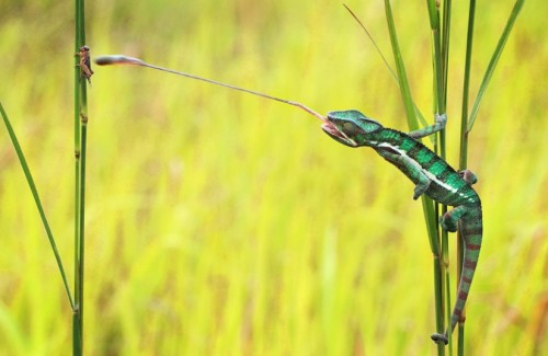theanimalblog:  A chameleon grabs an insect with its long tongue. Their tongues can be around twice as long as the chameleons body and they have a sticky tip to catch their prey.  Picture: SHIKHEI GOH / CATERS NEWS      (via TumbleOn)