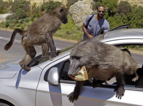 This is how it begins.  Tourists have their car raided by baboons at Millers Point on the outskirts of Cape Town, South Africa.  Picture: AP Photo/Schalk van Zuydam