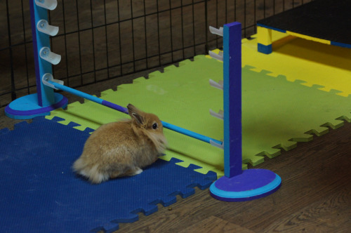 "thefluffingtonpost:  Bunny Olympics Kick Off in Vancouver The 44th Bunny Olympics are now underway in Vancouver, Canada, where the world's best rabbit athletes will compete for gold in events like the longhop, hop and field, and curling. ""Sure, it's not as big as the Hamster Olympics,"" event organizer Telly Seigrum tells The Fluffington Post. ""But our audience is growing. These rabbits are an inspiration for young bunnies around the world, and we want them to know they can do anything they put their minds to."" Via Craig Elliot.  would you come to Canada for this, Cara?"