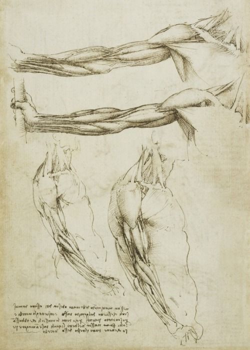 The Veins And Muscles Of The Arm (16th century) by Leonardo da Vinci