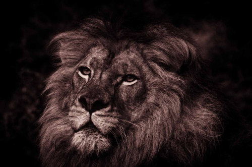 phototoartguy:  Lion Portrait