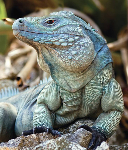 "rhamphotheca:  Success Story:  Blue Iguana Crawls Back From Extinction by LiveScience staff Just a decade ago, the Grand Cayman blue iguana was on the brink of extinction, with only 10 to 25 individuals left in the wild. But the reptile has made a major comeback and is no longer listed as a critically endangered species. The blue iguana, which is only found on the Caribbean island Grand Cayman, now has a population of about 750 thanks to a recovery program. And over the weekend, the International Union for Conservation of Nature (IUCN) updated its listing of the species from critically endangered to endangered. An endangered status is probably the best conservationists could ever hope for as far as the reptile is concerned, said Fred Burton, director of the Blue Iguana Recovery Program. ""Human impacts on Grand Cayman are now so extensive that there just isn't scope for these iguanas to regain numbers in the tens of thousands,"" Burton explained in a statement. ""However, we are confident that we will achieve our lon-term goal of restoring at least 1,000 Grand Cayman blue iguanas to the wild."" The blue iguana is the largest native species on Grand Cayman. The reptiles often grow to more than 5 feet (1.5 meters) in length and weighs more than 25 pounds (11 kilograms). They once ranged over most of the island's coastal areas and interior dry shrub lands before habitat destruction, car-related deaths and free-roaming dogs and cats pushed them toward extinction. The recovery program involves habitat protection, research, monitoring and releasing captive-bred iguanas into the wild. (via: Live Science)          (photo: male Cayman Blue Iguana, by Fred Burton)  I always love to hear good conservation news!"