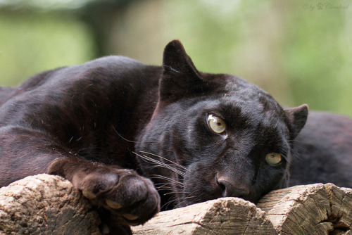 animals-animals-animals:  Black Leopard (by Cloudtail)