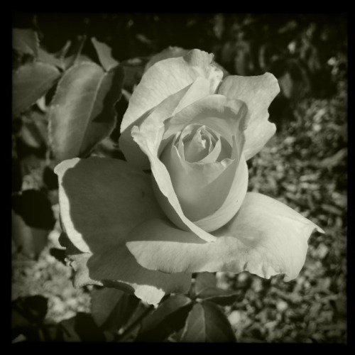 Pink Rose • In Black & White