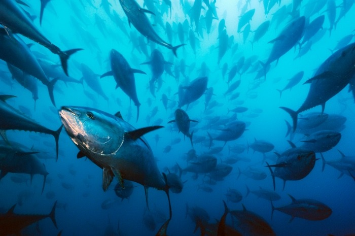Endangered Atlantic bluefin tuna are caught in the wild and fattened in pens for harvest—usually with unsustainable methods.Should Brian Skerry's bluefin tuna photo be the face of the vanishing ocean? Vote for this photo!Photo Credit: Brian Skerry