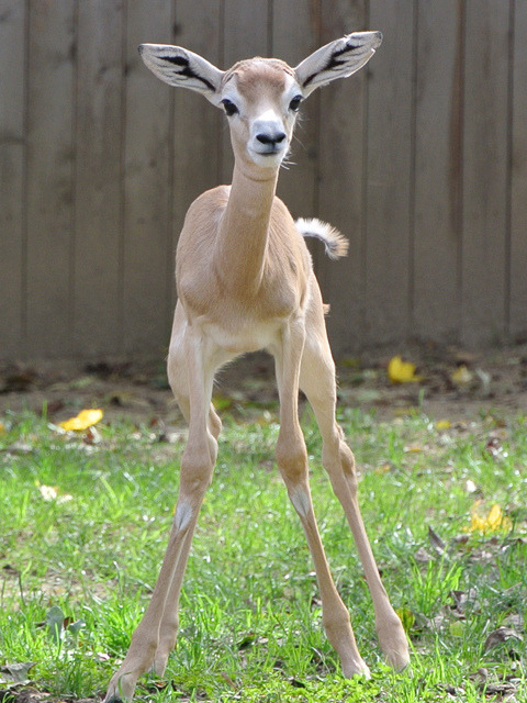 rhamphotheca:  National Zoo's New Baby Gazelle Runs Around the Yard by Benjamin R. Freed The Smithsonian's National Zoo is showing off its newest specimen this week, and guess what? It's freaking adorable. A female gazelle calf that was born October 13 debuted to the public on Wednesday, and is already running around the yard with its siblings. The calf, which does not yet have a name, joined the other gazelles in the mixed species exhibit at the zoo's Cheetah Conservation Station. Along with gazelles, the exhibit also houses Ruppell's griffon vultures and two male scimitar-horned oryx. The new gazelle's mother is three-year-old Zafirah. It was sired by male gazelle Raul, who also fathered a male calf born September 4. Player. Dama gazelles are one of the most critically endangered species, with fewer than 500 specimens remaining in the wild, according to the International Union for Conservation of Nature. And, oh yeah, as a bonus the zoo also has this video of the male calf running and stouting—a bouncy gait in which all four legs lift up from the ground—around the yard. (via and see video at: The DCist)          (images: Smithsonian National Zoo)