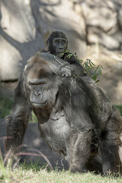 sdzoo:  sdzsafaripark:  Vila may be one of the world's oldest known gorillas and a matriarch of five generations, but she still gives a mean piggyback ride. Happy 55th Birthday Vila!  Vila was raised here! Happy bday old girl, we love you!