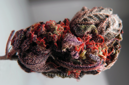 stonertactics:  Purple Midnight (Blue Goo x GDP) Had my roomie take a pic of the best nug out of the bags I could find with her super fancy camera. Love this, tastes like grape drink. Going to start posting pics in a 'My stash' link starting with this one. having her take all my weed pics from here on out.
