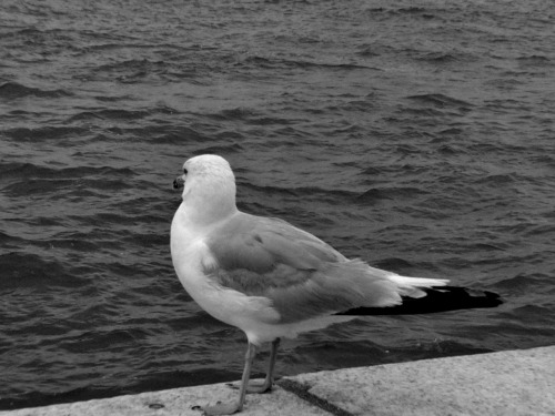 Seagull at Liberty Island