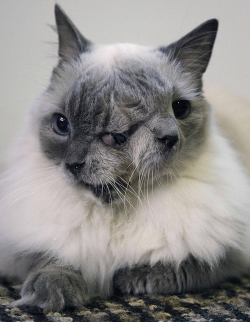 Frank and Louie the cat was born with two faces, two mouths, two noses, and three eyes. Twelve years after his owner rescued him from being put to sleep because of his condition, the cat is not only thriving but has made it into the 2012 Guinness Book of World Records as the longest surviving member of a group known as Janus Cats, named for a Roman god with two faces.