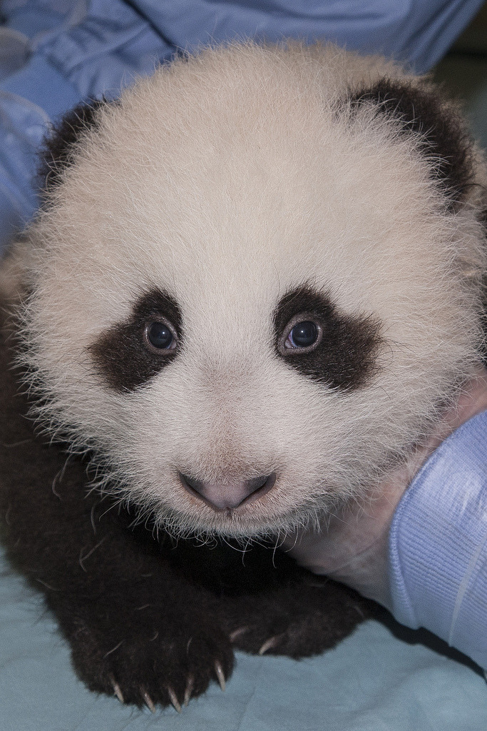 fuckyeahgiantpanda: Bai Yun's cub during his 10th exam at the San Diego Zoo, on October 23, 2012. You can help choosing his name: cast your vote! © Official San Diego Zoo, via fictionspulp.