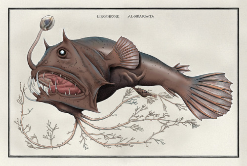 scientificillustration: Linophryne algibarbata from American Museum of Natural History on Flickr.