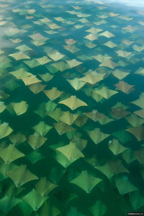 winning-is-not-always-good:  Golden Ray migration by Sandra Critelli what a great photo