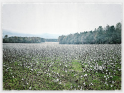 Can you spot the Jack Russell Terrier in the cotton field?