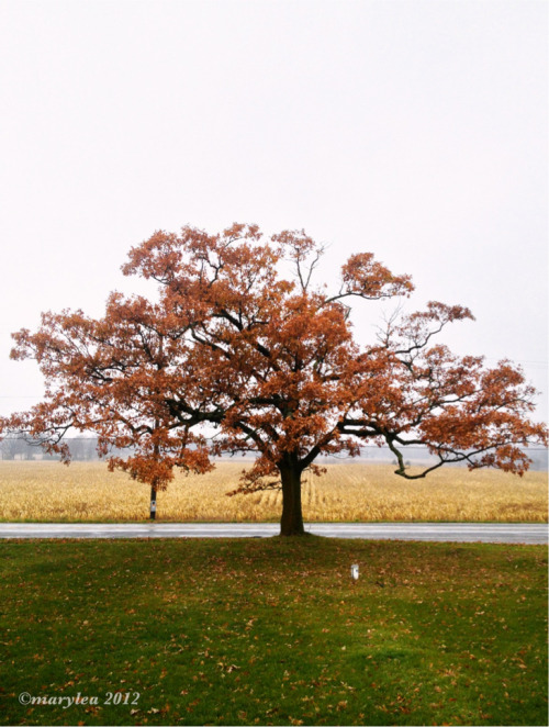 Our other oak tree.   October 23, 2012.