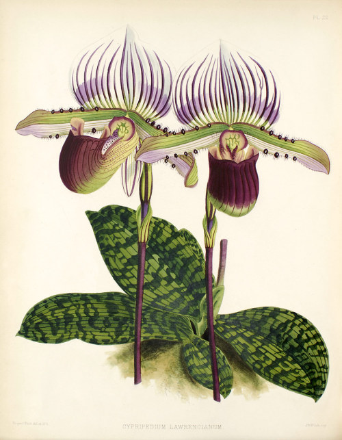 wallacegardens:  Paphiopedilum lawrenceanum (1882) The Orchid Album, illustration by John Nugent Fitch.