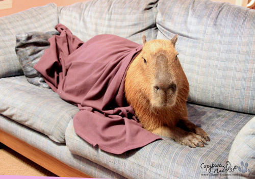 If you've got a couch, you need a capybara.