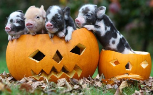 PIGGIES!!!! allcreatures:  Picture: RICHARD AUSTIN