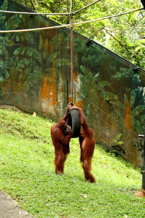 thirtycenthelicopter:  Seen Malaysia Digital 7D ~ Orangutans are an endangered species!