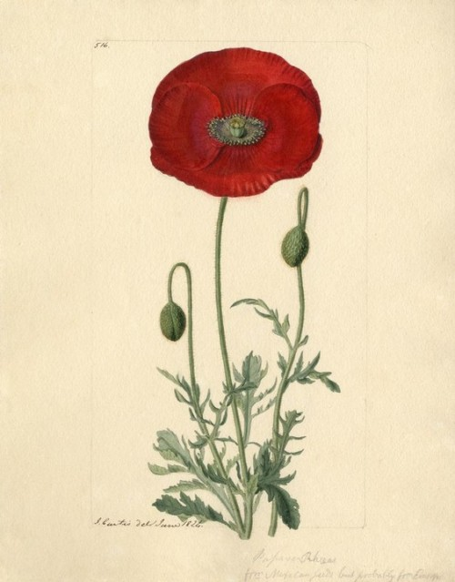 Papaver Rhoeas (1824) by John Curtis. Royal Horticultural Society/Lindley Library. via Artfinder.com