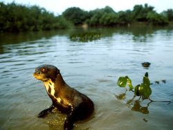 Young Giant River Otter Photograph by Joel Sartore
