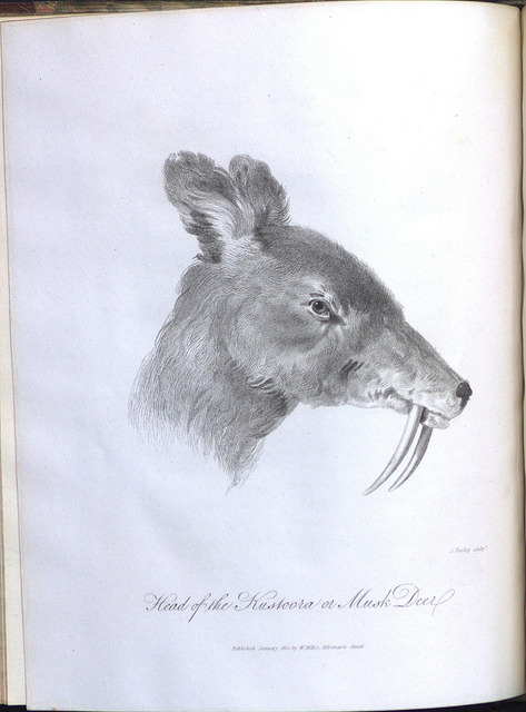 Head of the Kustoora or Musk Deer by Library & Archives @ Royal Ontario Museum on Flickr.Author: Kirkpatrick, William, 1754-1812. Title: An Account of the Kingdom of Nepaul, Being the Substance of Observations Made During a Mission to That Country, in the Year 1793. By Colonel Kirkpatrick. Illustrated with a Map, and Other Engravings. Imprint: London : W. Miller, 1811. Physical Description: 1 print : engraving : on leaf 29 x 24 cm. Page: Bound facing page 131. Call Number: DS485 .N4 K5 1811 Rare Book