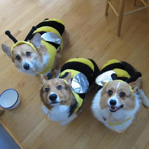 andcorgimakesthree:  Retro happy Halloween #corgi #cute #love #petstagram #corgistagram #igers #dog #photooftheday @pablochang @djhaul #wutang  corgbeeees