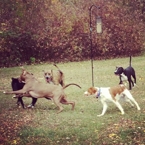 bajo-el-mar:  Jackson got a surprise playdate with three other pits yesterday! He was very happy :)