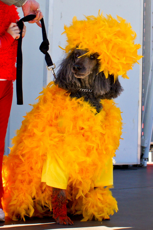 "Dog Worried Big Bird Halloween Costume Is Too Political Hercules was always planning to dress up as Big Bird for Halloween this year.  After all, the giant avian is his favorite Sesame Street character.  But when the big yellow bird became a politically charged campaign issue following the first presidential debate earlier this month, Hercules began to worry that his costume choice might be too political. ""He's not trying to send a political message,"" said Keith Hagens, a source close to the situation.  ""He just really, really loves Big Bird.  He doesn't want anyone to think he's supporting one candidate or the other."" Hercules has not yet decided if he will keep the costume or pull a last minute audible and find something else to wear trick-or-treating. Via The Suss-Man."